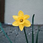 Daffodil  by Craig Thomas