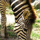 Zebra by Marilyn Harris
