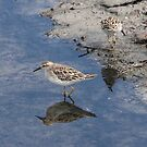 Sharp-tailed Sandpiper by Kerryn Ryan, Mosaic Avenues