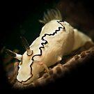 Black-margined Glossodoris Nudibranch by Kerrod Sulter