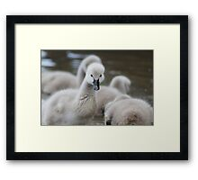 Young Swans  Framed Print
