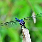 Slaty Skimmer Dragonfly by Kathy Baccari