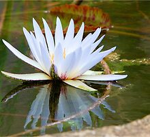 WATER LILLY REFLECTION by Magaret Meintjes