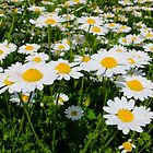 Field of daisy's by Ivo Velinov