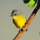 EASTERN YELLOW ROBIN  MARLO VIC. by helmutk