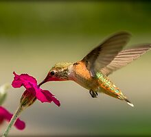 FEEDING FROM FLOWERS by Sandy Stewart