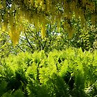 Lush Laburnums Over Fresh Ferns... by Carol Clifford