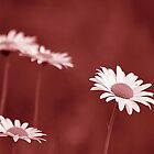 *Pink Daisies* by DeeZ (D L Honeycutt)