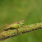 Field Cricket  by Zack Parton