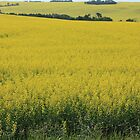 Fields of Gold by Jim Sauchyn