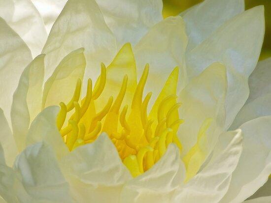 Ivory waterlily by Celeste Mookherjee