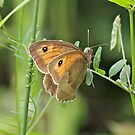 Meadow Brown Butterfly by dilouise
