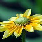 Yellow Daisy by Teresa Zieba
