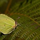 Green Butterfly by César Torres