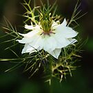 Love in a Mist by Tracy Friesen