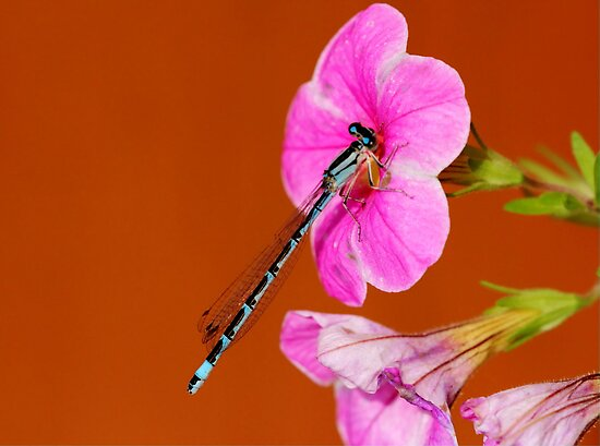 Damselfly by Larry Trupp