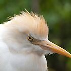 Cattle Egret by DPalmer