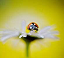 Daisy Lady by Jacky Parker