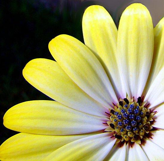 African Daisy: Osteospermum by PatChristensen
