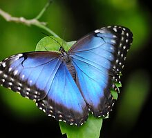 Blue Morpho by Dorothy Thomson