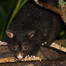 Mountain Brushtail Possum by aussiebushstick