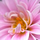 Chrysanthemum by Ellesscee