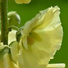 Yellow hollyhock by Nicole W.