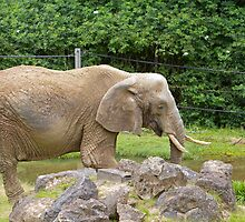 An African Elephant at Paignton Zoo, Devon by Keith Larby