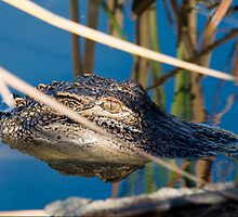 Young Gator Hanging out by the lakes edge by imagetj