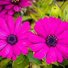 Beautiful Purple Daisies by Christy Patino