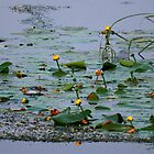 """  Yellow Pond Lilies  "" by fortner"