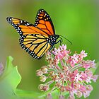 Butterfly on Mountain Laurel by mhm710