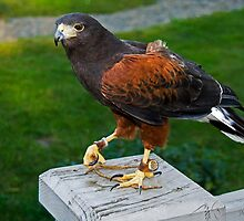 Harris's Hawk by Maria A. Barnowl