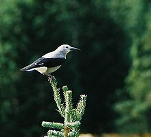 Clark's Nutcracker - - Cards by Maria A. Barnowl