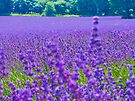 Mayfield Lavender Fields 4 by Colin J Williams Photography