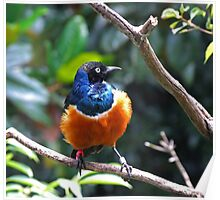 African Superb Starling Poster