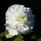 White Begonia by LoneAngel