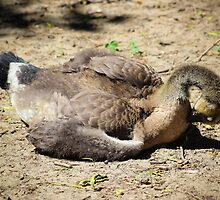 Gosling At Rest by Christy Patino