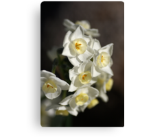 Jonquils Canvas Print