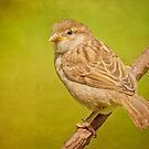 House Sparrow by M.S. Photography & Art