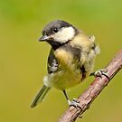Great tit by M.S. Photography & Art