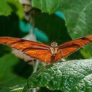 Julia Heliconian butterfly, (Dryas Iulia), by Eyal Nahmias