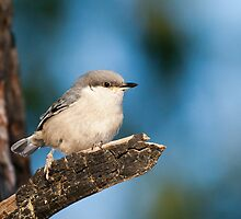 Pygmy Nuthatch by Tom Talbott