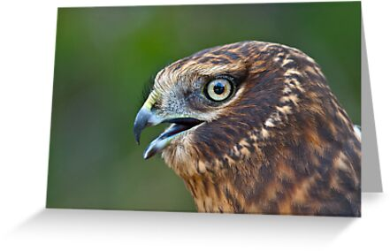 Northern Harrier Portrait by Tom Talbott
