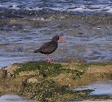 Sooty Oystercatcher by mosaicavenues