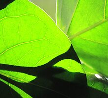 Sun shining through leaf - 7 Macro shot by Terry Rodger Smith