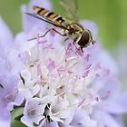 Hover fly by JulieGrant