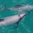 Hectors Dolphins by John Dalkin