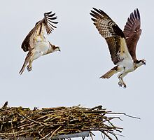 Synchronized Osprey by Tom Talbott