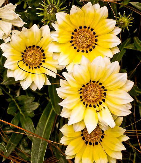 Four Yellow and White Daisy's by mamasita